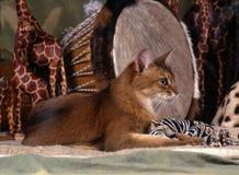 Сомалийский кот Стоковое Изображение
