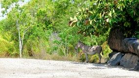 Сомалийский одичалый ишак в зоопарке Стоковое фото RF