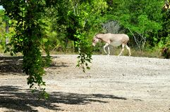 Сомалийский одичалый ишак в идя зоопарке Стоковое Изображение RF