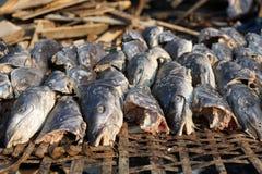 Сом моря вид сома моря известный как manyung в Индонезии и arahan в Филиппинах Рыба была сохраненными wi Стоковые Фотографии RF