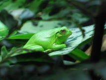 Сонная лягушка Стоковые Фото