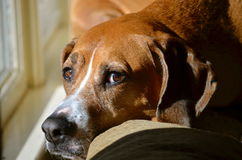 Сонная собака сидя в солнце смотря камеру Стоковое фото RF