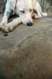 Сонная собака стоковые фотографии rf