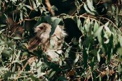 Сонное eucaliptus еды коалы выходит в дерево Стоковые Изображения RF