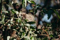 Сонное eucaliptus еды коалы выходит в дерево Стоковое Изображение