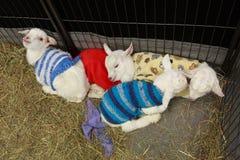 Сонные козы младенца в шерстяных свитерах Стоковые Фото