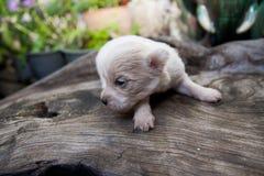 Сонный белый щенок Стоковое Фото