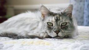 Сонный енот Мейна Стоковое Фото