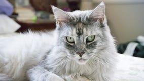 Сонный енот Мейна Стоковые Фото