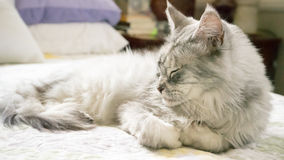 Сонный енот Мейна Стоковое фото RF