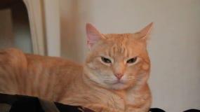 Сонный желтый кот сток-видео