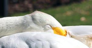 Сонный лебедь Bewick акции видеоматериалы