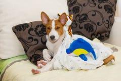 Сонный маленький щенок Basenji Стоковое фото RF
