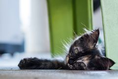 Сонный милый маленький черный коричневый котенок лежит вниз на поле Стоковые Фото