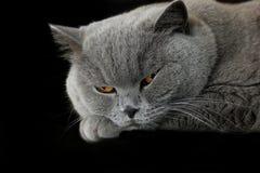 Сонный серый великобританский кот Стоковые Изображения