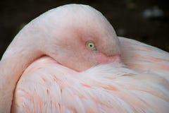 Сонный фламинго Стоковые Фотографии RF