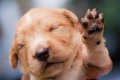 Сонный щенок Стоковые Фото