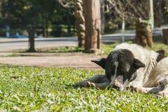 Сон бездомной собаки на траве на парке Стоковые Изображения RF