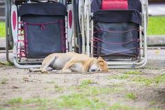 Сон бездомной собаки на земле и траве с шезлонгом в парке Стоковое Изображение