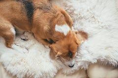 Сон бигля на овчине Стоковые Фотографии RF