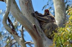 Сон коалы на дереве Стоковое Фото