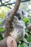 Сон коалы Стоковое Изображение