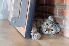 Сон коротких волос кота американский под таблицей около кирпичной стены Стоковое Изображение RF