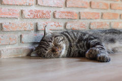 Сон коротких волос кота американский Стоковая Фотография