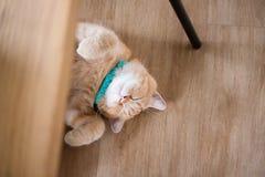 Сон коротких волос кота американский Стоковые Фотографии RF