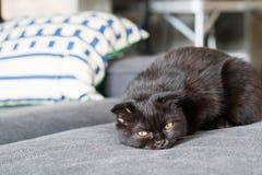 Сон коротких волос счастливого кота американский на кресле Стоковые Изображения RF