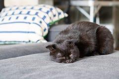 Сон коротких волос счастливого кота американский на кресле Стоковые Фото