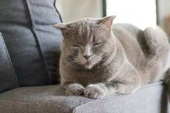 Сон коротких волос счастливого кота американский на кресле Стоковая Фотография RF