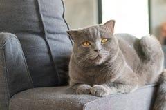 Сон коротких волос счастливого кота американский на кресле Стоковое фото RF