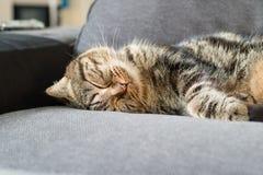Сон коротких волос счастливого кота американский на кресле Стоковое Изображение RF