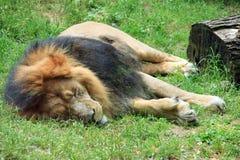 сон льва Стоковые Фотографии RF