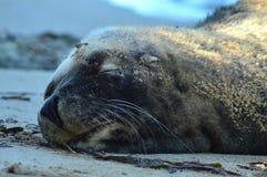 Сон морского льва стоковые изображения