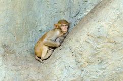 Сон обезьяны Стоковые Изображения RF