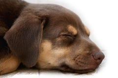 сон собаки Стоковые Изображения