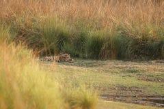 сон тигра Стоковые Изображения RF