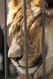 Сон льва в клетке зоопарка стоковое изображение rf