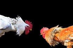2 соперника птицы изолированы на черной предпосылке Стоковое Фото