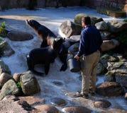 сопровождающие львы шьют Стоковые Фотографии RF