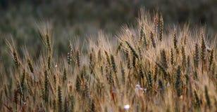 сопроводите по мере того как поле cyanus cornflower мозоли хлопьев centaurea как часто другой papaver засаживал rhoeas мака сорти Стоковые Фотографии RF
