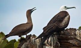 Сопрягаемые пары птиц фрегата стоковая фотография