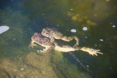 Сопрягать жаб Стоковое Фото