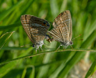 Сопрягать жизней и бабочек Стоковое Изображение