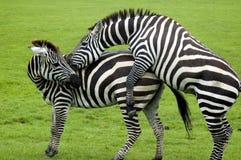 Сопрягать зебр Стоковое Изображение