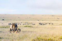 сопрягать львов Стоковая Фотография RF