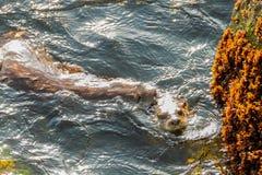 Сопрягать морских выдр Стоковое Изображение