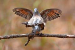 Сопрягать птицы голубя зебры Стоковое Изображение